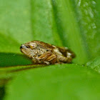 Four-spotted spittlebug