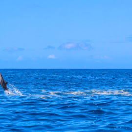 Trailblazing Spinner Dolphin by Paulphin Photography - Animals Sea Creatures ( spinner, dolphin, nature, path, paradise, landscape )
