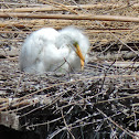 Great Egret Chicks (2)