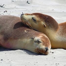 Sibling Love !! by Anthony Goldman - Animals Sea Creatures ( wild, kangeroo island, sea-lions, juveniles, beach, mammal,  )