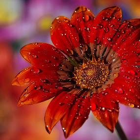My garden gerbera after the rain by Manuela Dedić - Flowers Single Flower ( red, gerbera, garden, flower,  )