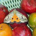 Fruit Sucking Moth