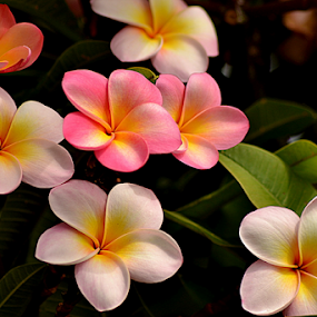 Pink Frangipani 112 by Mark Zouroudis - Flowers Tree Blossoms