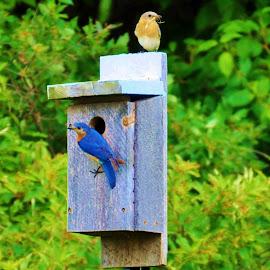 Nesting Bluebirds by Marcy Herrick - Novices Only Wildlife