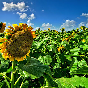 Windy sunflowers by Phil Olson - Flowers Flowers in the Wild ( field, hdr, sunflowers, texas, summer, Hope,  )