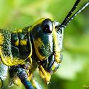 Gafanhoto brasileirinho (Soldier Grasshopper or Lubber Grasshopper)