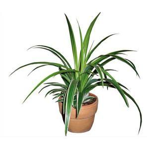 Acheter chlorophytum plante araign e ch teauneuf les for Acheter plante interieur