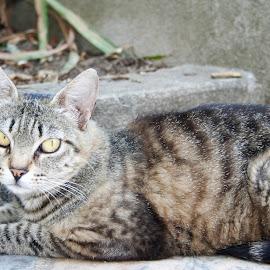 Gato by Carla Dias - Animals - Cats Kittens ( animals, cat )