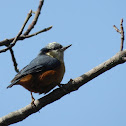 Chestnut-bellied Nuthatch