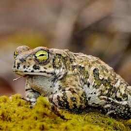 Natterjack by Ricardo Costa - Animals Amphibians ( water, amphibian, mira, portugal, amphibians,  )