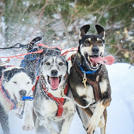 Working Dogs, Happy Dogs by Roberta Janik - Animals - Dogs Running ( sled dogs, dogs, working dogs, man's best friend, dog sled races,  )