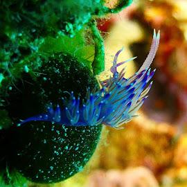 şanıdive by Yildirim Gencoglu - Animals Sea Creatures ( Deniztav, nudi, nudibranch, seaslug, underwaterphotography, underwater, Scuba, padi, Livetoscuba, love, me, igaddict, igers, igersturkey, like4like, G12, sualti, natureaddict, sigacik )