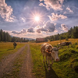 Summer day by Stanislav Horacek - Landscapes Prairies, Meadows & Fields ( sunset, trees, cow, man )