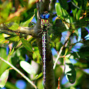 Regal Darner Dragonfly