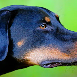 Nelson by Anthony Goldman - Animals - Dogs Portraits ( florida, pet, tampa, rescue, nelson, puppy, dog, doberman, profile )