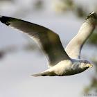 American Herring Gull