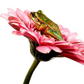pretty on pink by Richard Stevens - Animals Amphibians ( studio, macro, nature, amphibian, frogs, closeup )