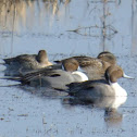 Northern Pintail Ducks (2 pair)