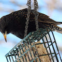 Common Starling, European Starling