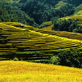 Harvest time by Amateur Pic - Landscapes Prairies, Meadows & Fields ( rice field, rice, season, vietnam, yen bai, amateurpic )