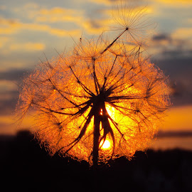 :) by Svetlana Micic - Nature Up Close Other plants ( macro, nature, dandelion, sunset, sun )