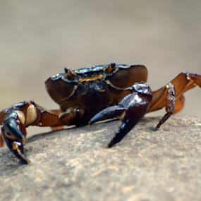 Crab by Yogesh Kumar - Animals Sea Creatures ( macro, legs, brown, crab, eyes )