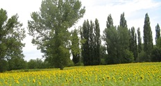 SunflowersWhiZpast2