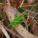 Green Bush Katydid