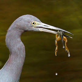 Lunch! by Anthony Goldman - Animals Birds ( bird, wild, frog, little blue, tampa, catch, pond, heron )