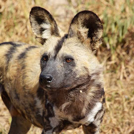 Wild Dog  by Carlien Oberholzer - Novices Only Wildlife