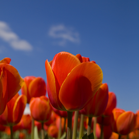 Tulip 8 by BertJan Niezing - Flowers Flower Gardens ( tulip field, tulip, holland, summer, sun )