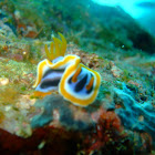 Nudibranch Chromodoris annae