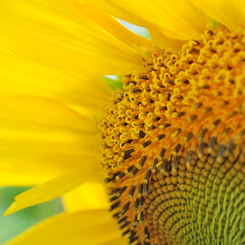 sunflower in my eyes by Ashley Black - Nature Up Close Gardens & Produce ( amazing, beautiful flower, upclose, summer, sunflower, hd, Hope )