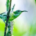 Luzon Sunbird ♀