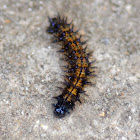 Checkerspot Caterpillar