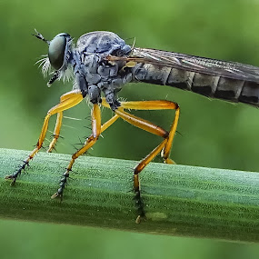 hunterfly by Boris Romac - Animals Insects & Spiders ( sony, macro, insect, hx400v,  )