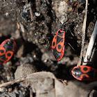 Fire Bug - Ruměnice pospolná