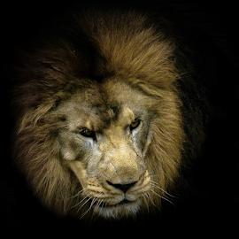 Dark lord by Gregg Pratt - Animals Lions, Tigers & Big Cats ( lion )