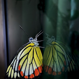 Common Jezebel Butterfly by Arun Samak - Animals Insects & Spiders ( butterfly, indonesia, jakarta, iphone, samak )