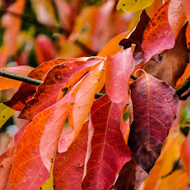 Fall by Christine May - Nature Up Close Leaves & Grasses ( up close, nature, autumn, red leaves, fall, leaves, photography, color, colorful,  )