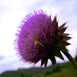 Purple Lunch by Alli Hurley - Nature Up Close Other plants ( mountains, bees, thistles, flowers, purple flower, fields )