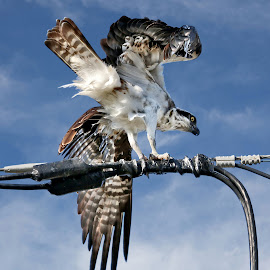 Awkward landing by Sandy Scott - Animals Birds ( birds of prey, raptor, landing osprey, birds, osprey,  )