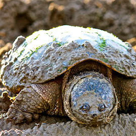snapper by Cassie Nyberg George - Animals Reptiles (  )