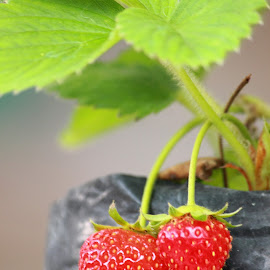 Strawberry in garden by Benny Prayitno - Nature Up Close Gardens & Produce (  )