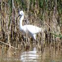 Little Egret; Garceta Común