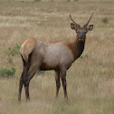 Elk (adolescent male)