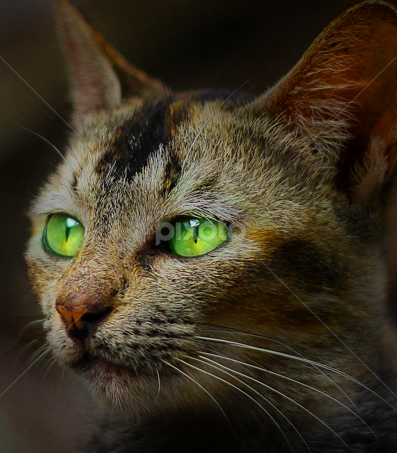 meong by Yudha Portugal - Animals - Cats Portraits