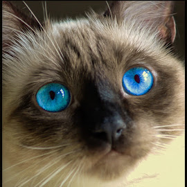 Blue by Fred Coleman - Animals - Cats Portraits ( suki, cat, feline, siamese, eyes,  )