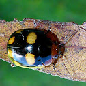 Eight-spotted Leaf Beetle