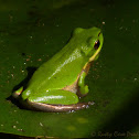 Eastern Dwarf Tree Frog